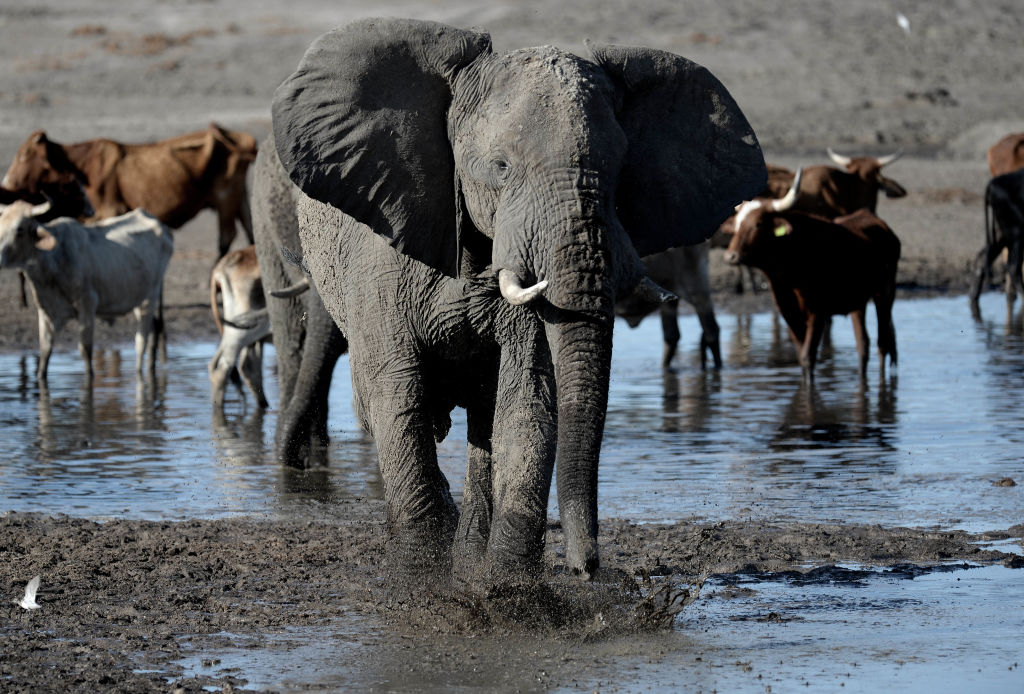 An elephant stands in one of the dry channel of the wildlife reach   Okavango Delta near the Nxaraga village in the outskirt of Maun, on 28 September 2019. - The Okavango Delta is one of Africa's last remaining great wildlife habitat and provides refuge to huge concentrations of game. Botswana government declared this year as a drought year due to no rain fall through out the country.