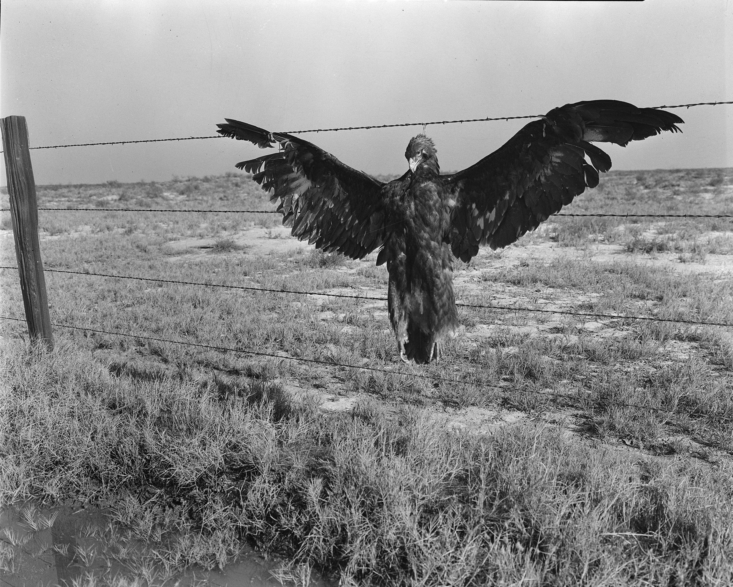 A very blue eagle. Along California highway, Nov. 1936.