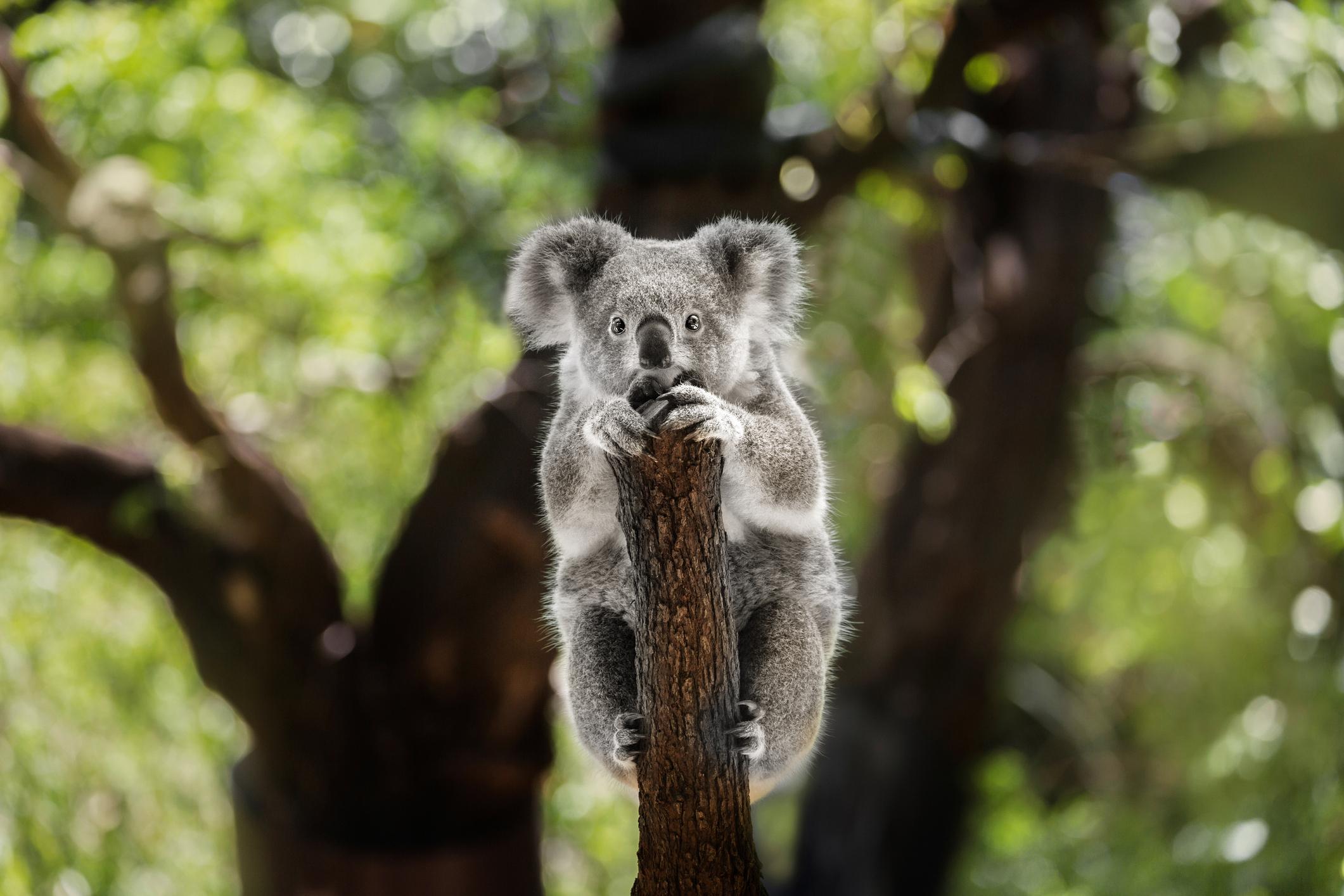 Australia Should Be Ashamed Of Koalas Killed On Plantation Time