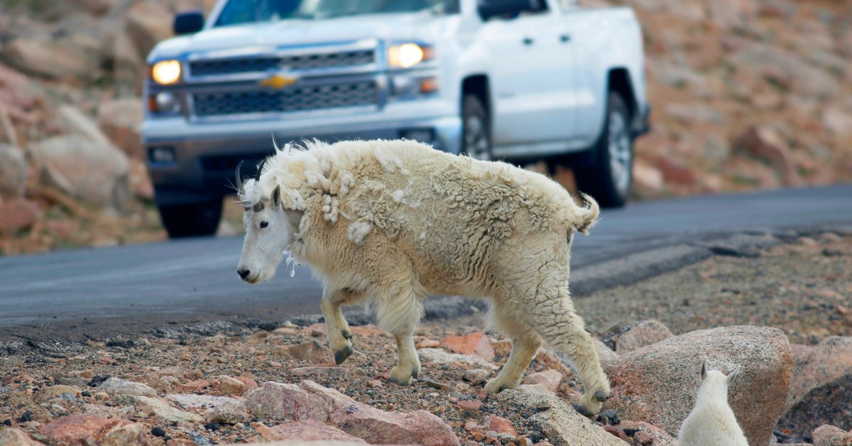 Grand Teton Halts Plan to Shoot Mountain Goats From Helicopter