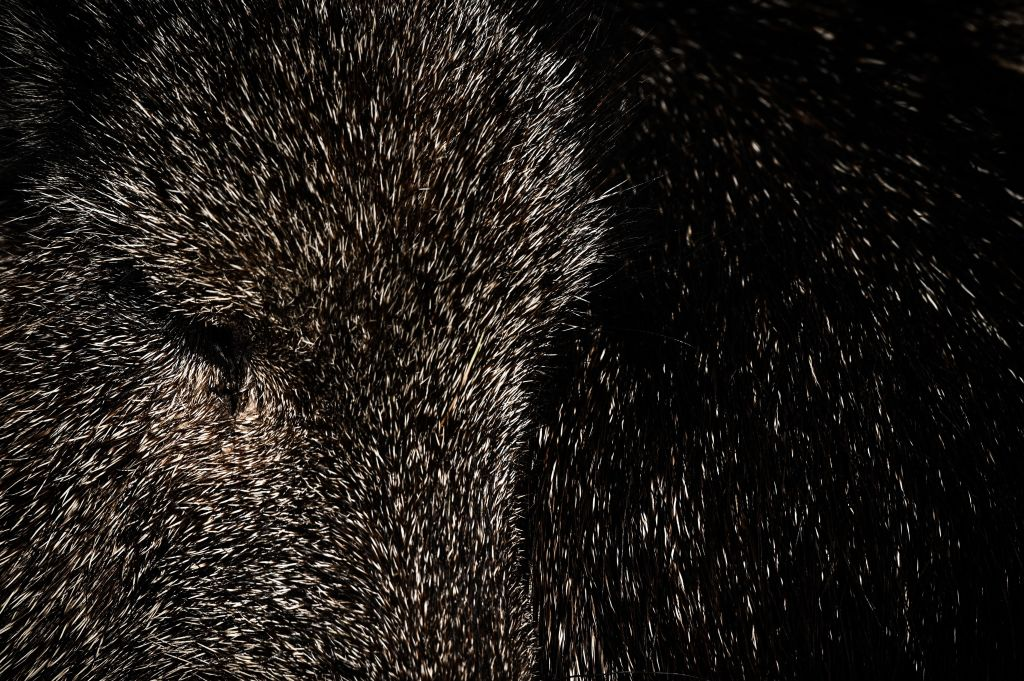A picture shows a close-up of a peccary in an enclosure at the Paris zoological park in Paris on April 12, 2019.