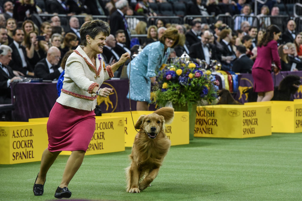 Golden retriever  Daniel  wins the Sporting Group during the annual Westminster Kennel Club dog show on February 11, 2020 in New York City.