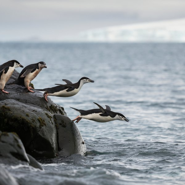climate-change-is-decimating-the-chinstrap-penguins-of-antarctica