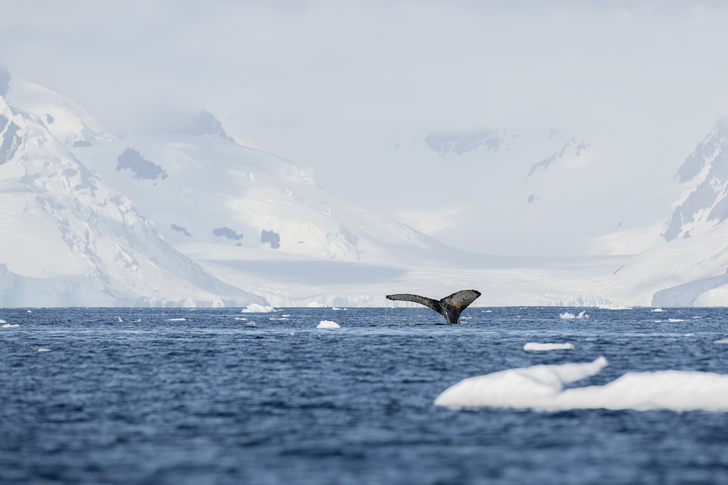 the fluke of a humpback whale at Anvers Island, Antarctica, on Feb. 3, 2020.