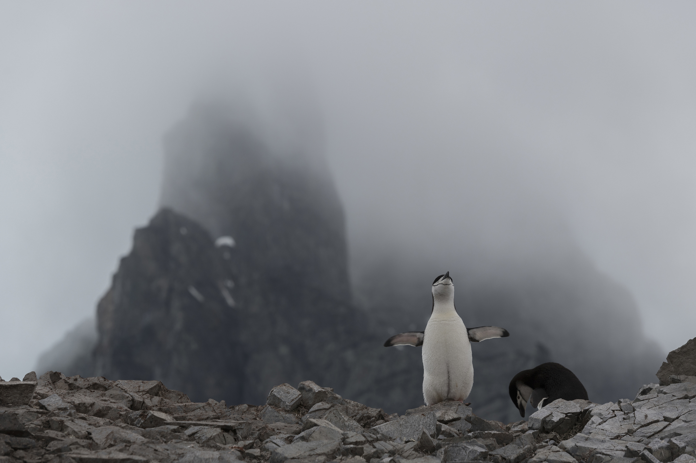 A chinstrap penguin nesting at Spigot Peak, in Orne Harbor on the Antarctic peninsula, on Feb. 6, 2020.