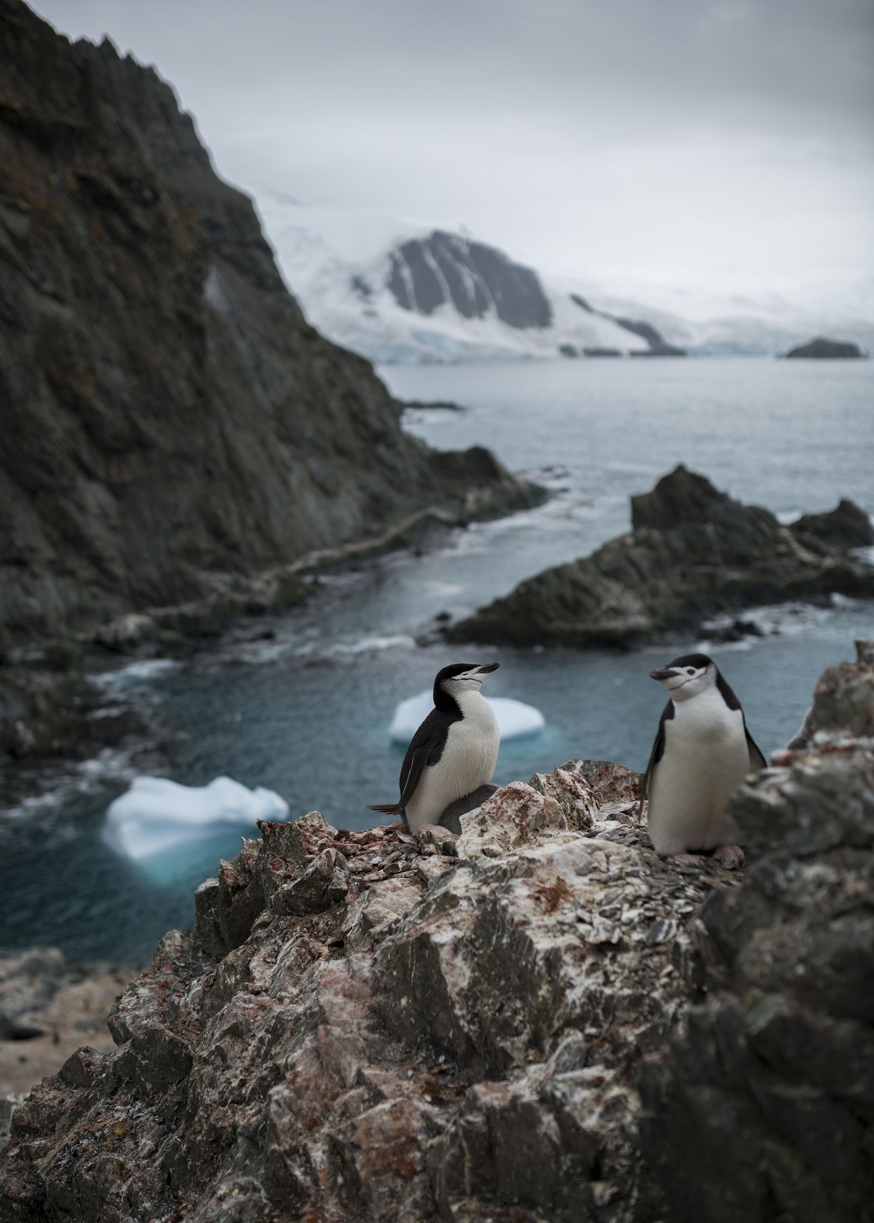 A chinstrap penguin colony on Elephant Island, Antarctica on Jan. 17, 2020.