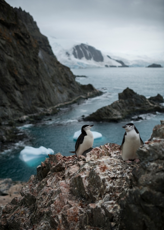 Chinstrap Penguins On Elephant Island