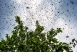 bee swarm Pasadena california