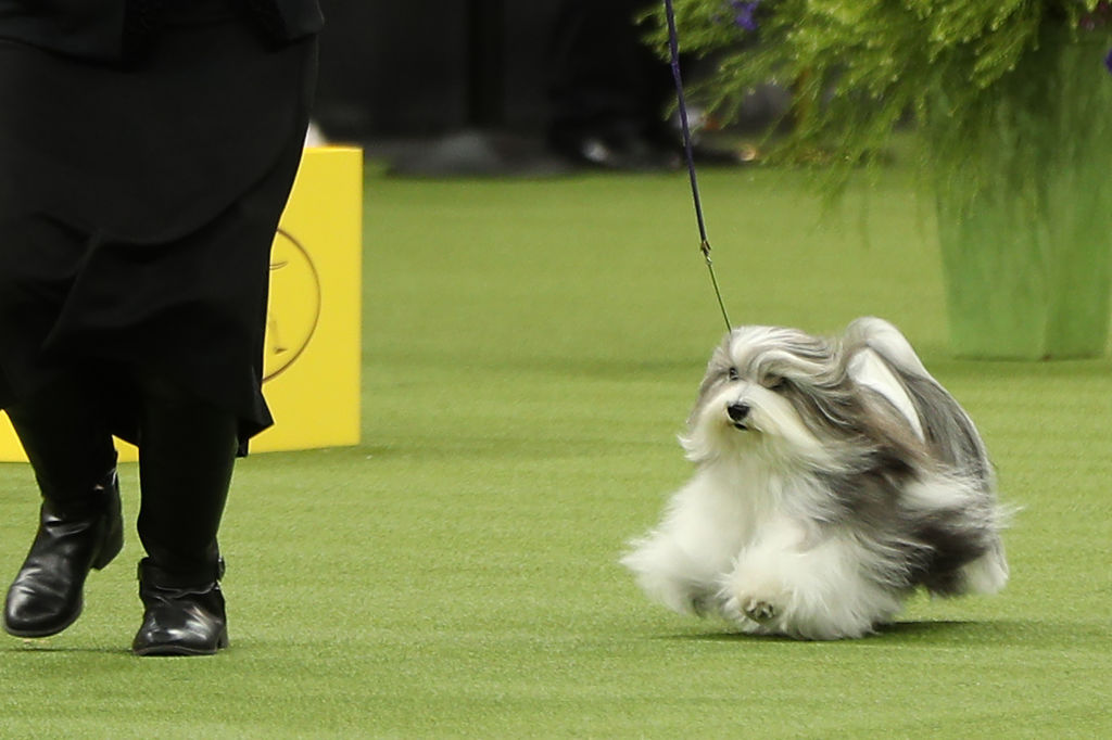A Havanese named Bono win the Toy group at the 2020 Westminster Kennel Club Dog Show in New York City at Madison Square Garden on February 11, 2020.
