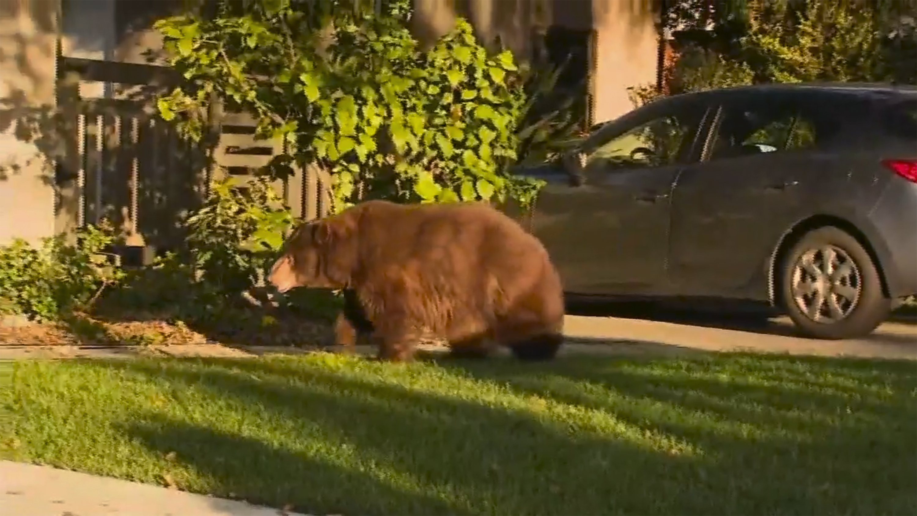 This image provided by KTTV FOX 11 shows a bear walking on the front yard of a home in Monrovia, Calif., on Feb. 21, 2020.