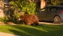 Bear That Wandered Around Los Angeles Suburb Moved to Forest