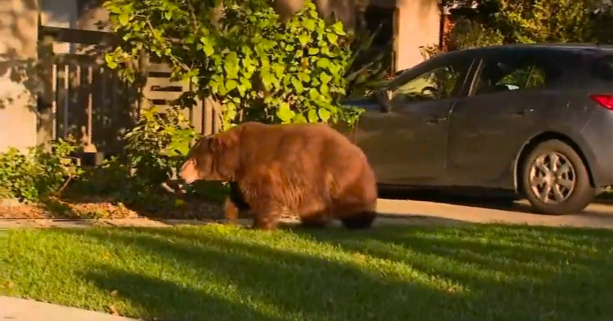 'Elderly' Bear Caught Wandering Around Los Angeles Suburb