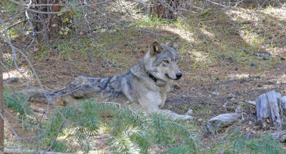 Endangered Gray Wolf Found Dead in California After Traveling Nearly 8,000 Miles Without a Pack
