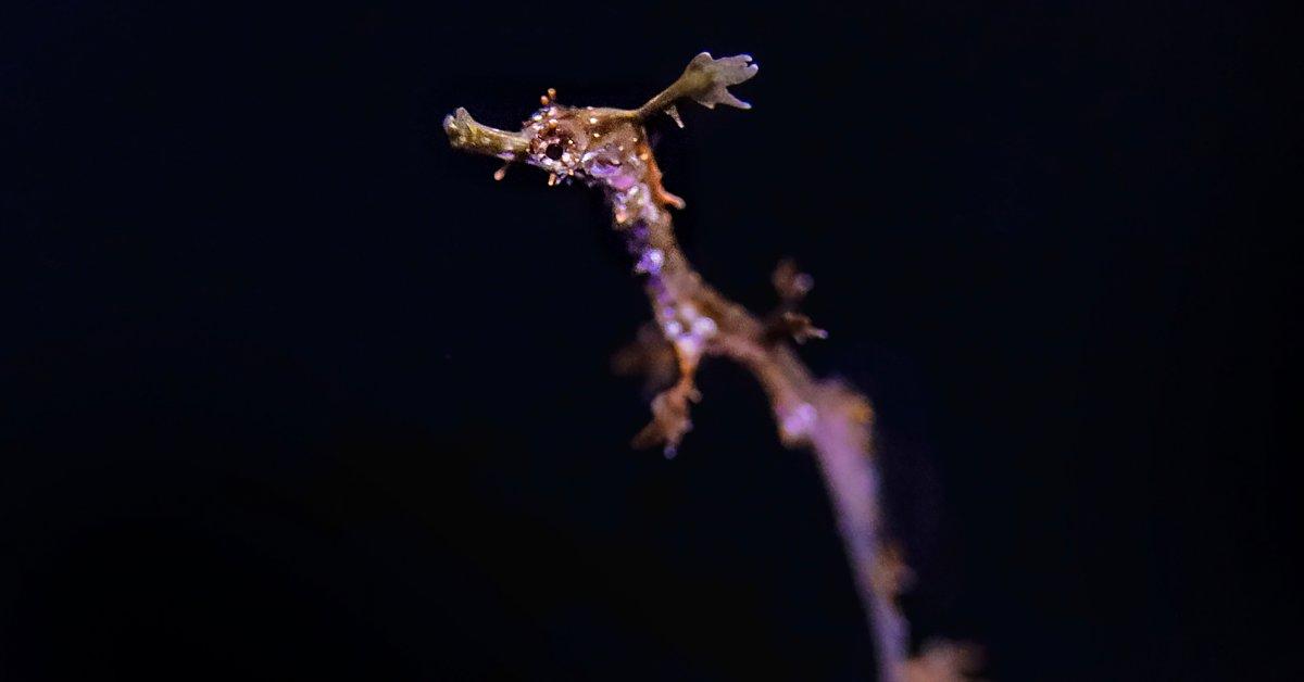 San Diego Aquarium Breeds Rare Weedy Sea Dragon in Captivity