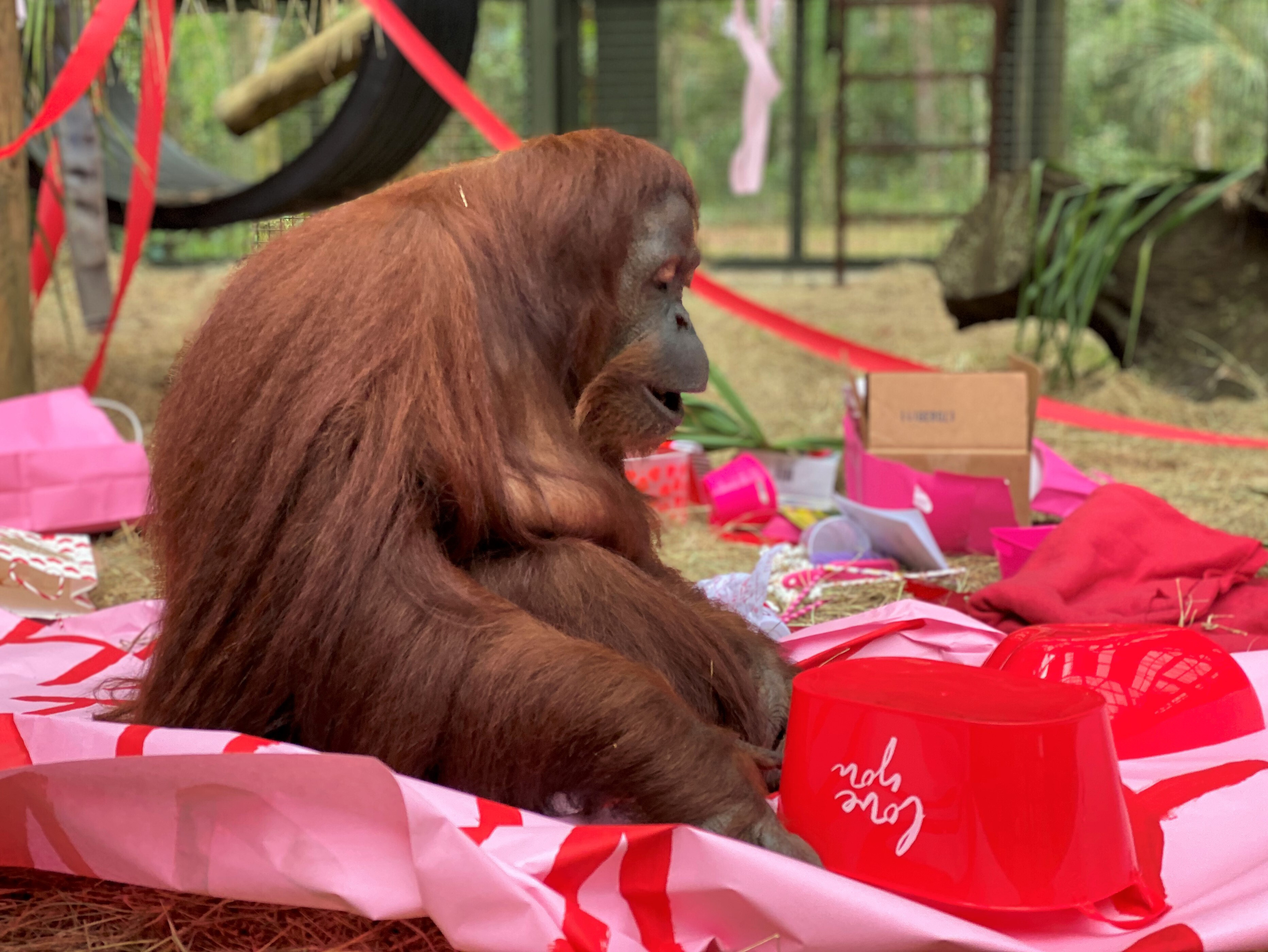 This photo, courtesy of the Center for Great Apes, shows an orangutan named Sandra in Wauchula, Fla., on Feb. 15, 2020.