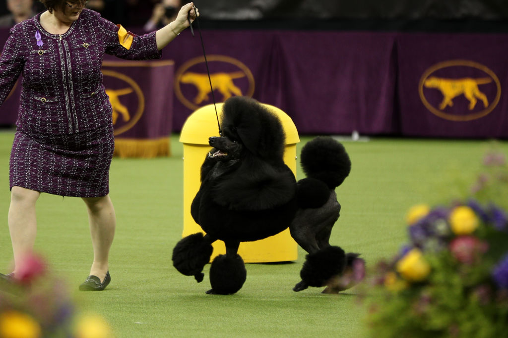 Siba the poodle wins the Non-Sporting group at the 2020 Westminster Kennel Club Dog Show in New York City at Madison Square Garden on February 11, 2020.