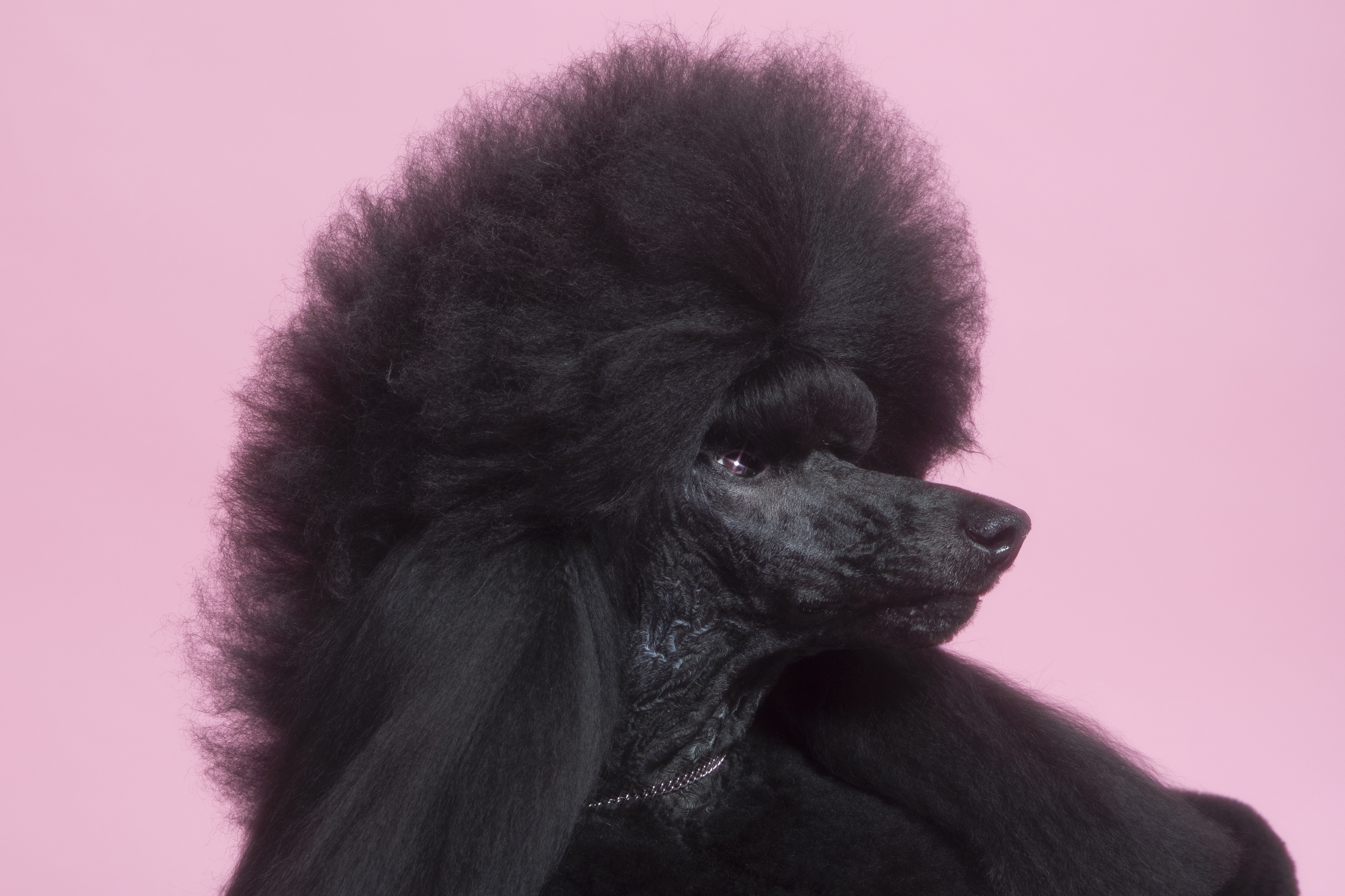Siba the Standard Poodle, who won the 2020 Westminster Dog Show, poses for a portrait at the TIME studio on Feb. 12