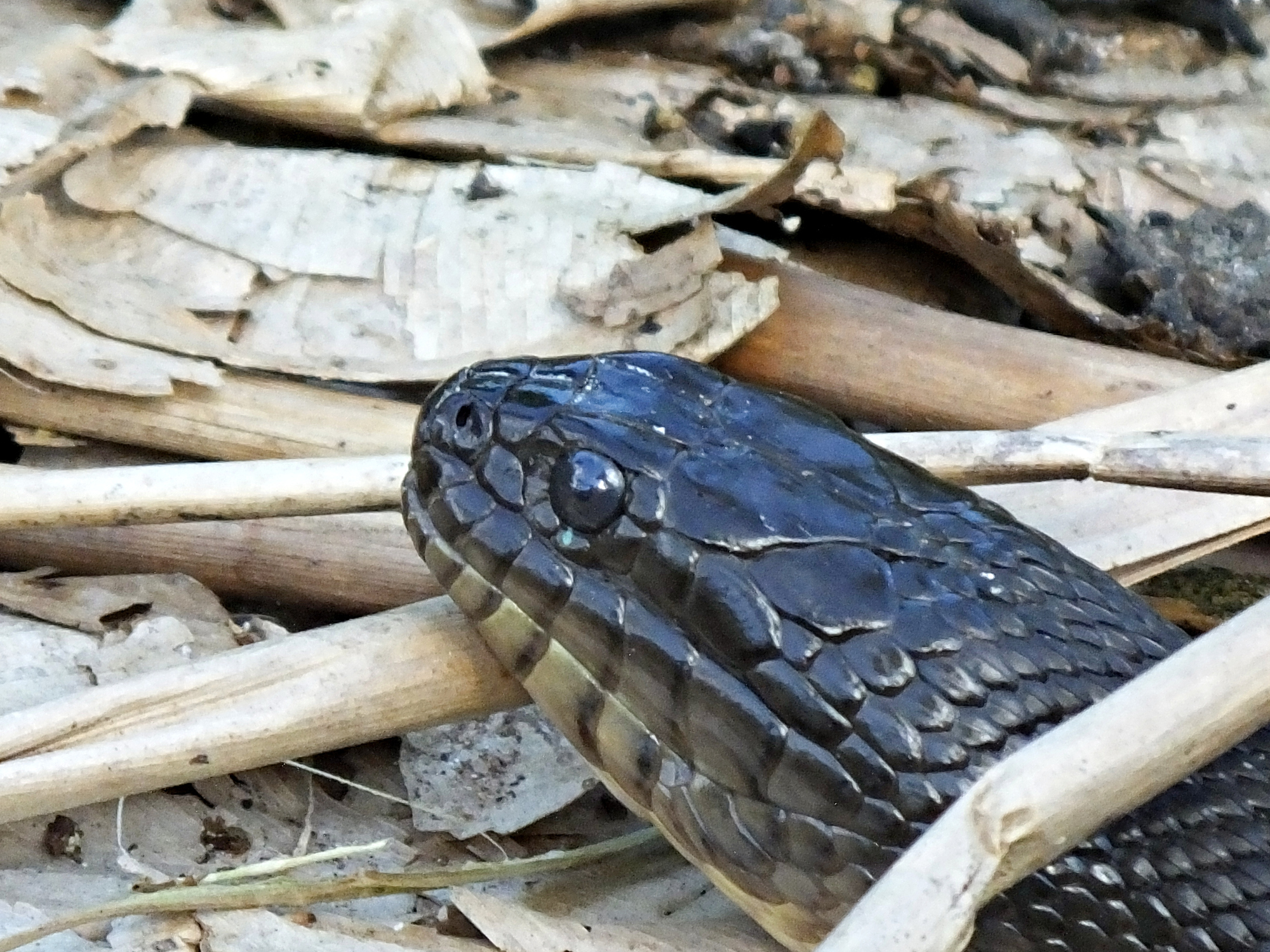 A Florida green water snake, possibly looking for love?