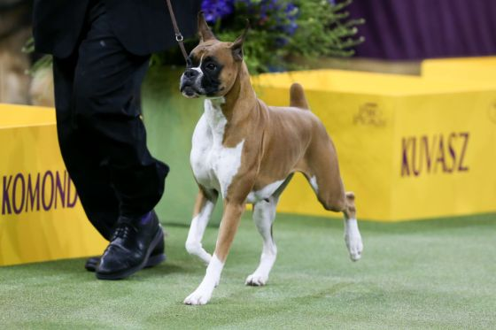 OTHER: FEB 11 Westminster Dog Show