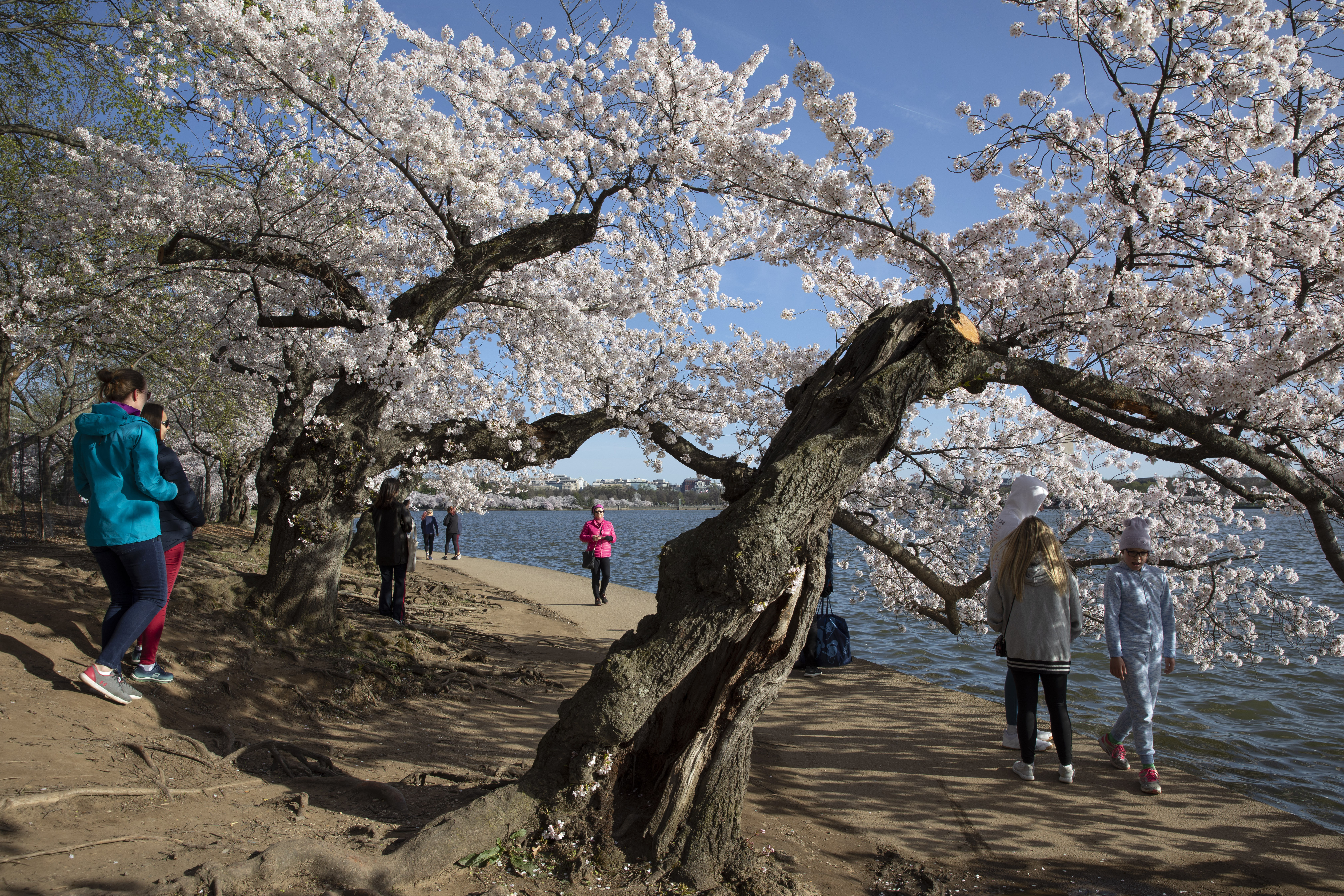 People visit the cherry blossom trees in full bloom at the tidal basin, on March 22, 2020, in Washington.
