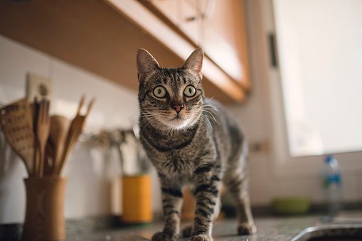 Tabby cat on a kitchen counter
