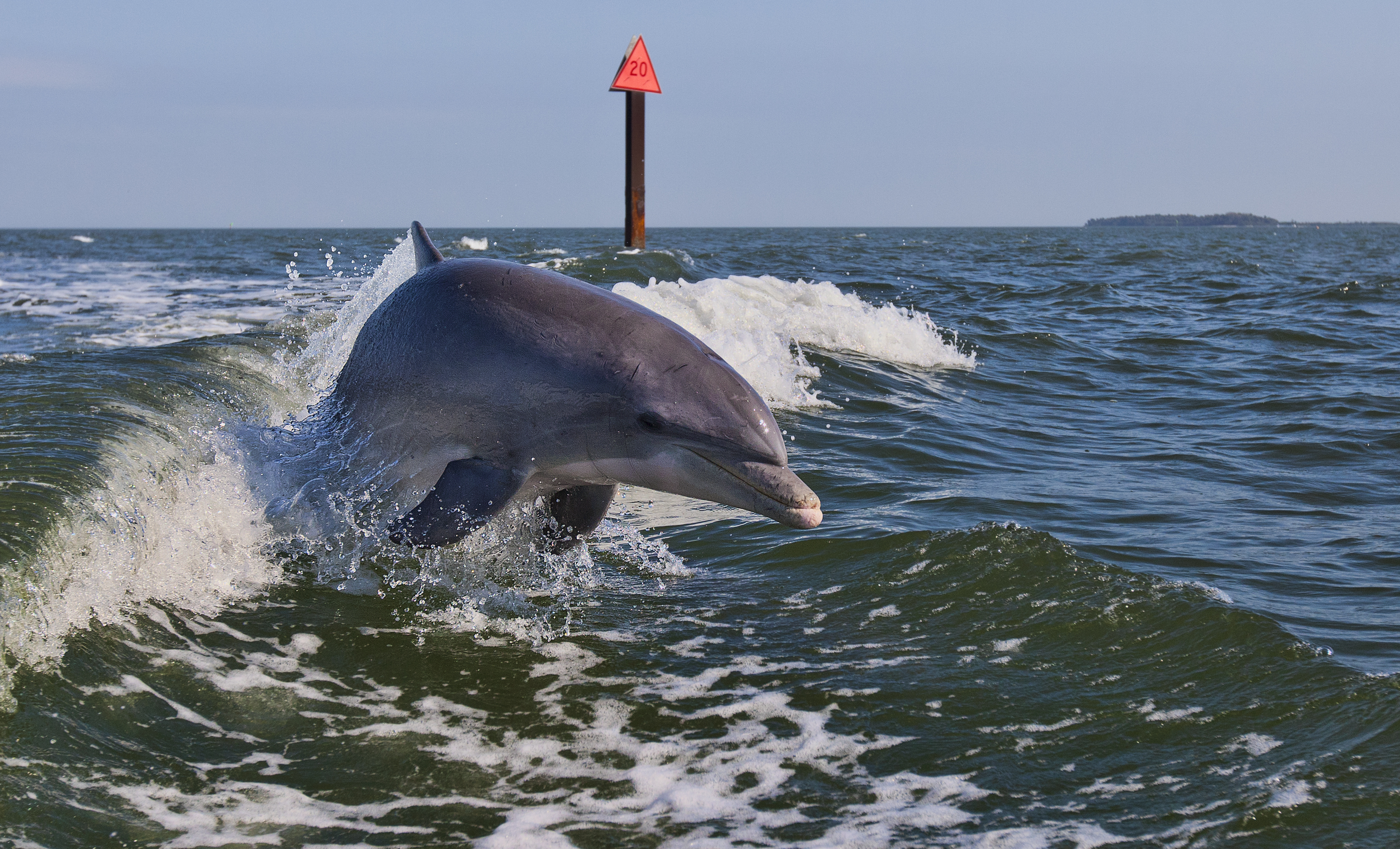 A Bottle Nose Dolphin jumping out of a boat wake in the Gulf Of Mexico in Cedar Key, Fla.