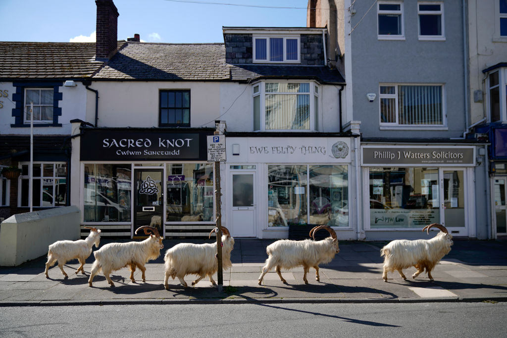 Mountain goats roam the streets of LLandudno on March 31, 2020 in Llandudno, Wales. The goats normally live on the rocky Great Orme but are occasional visitors to the seaside town, but a local councillor told the BBC that the herd was drawn this time by the lack of people and tourists due to the COVID-19 outbreak and quarantine measures.