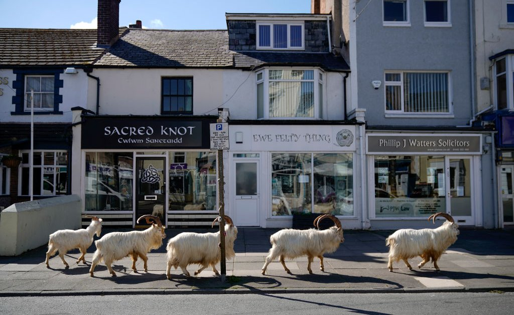 Everyone's Obsessed With Llandudno Goats in Empty Streets | Time