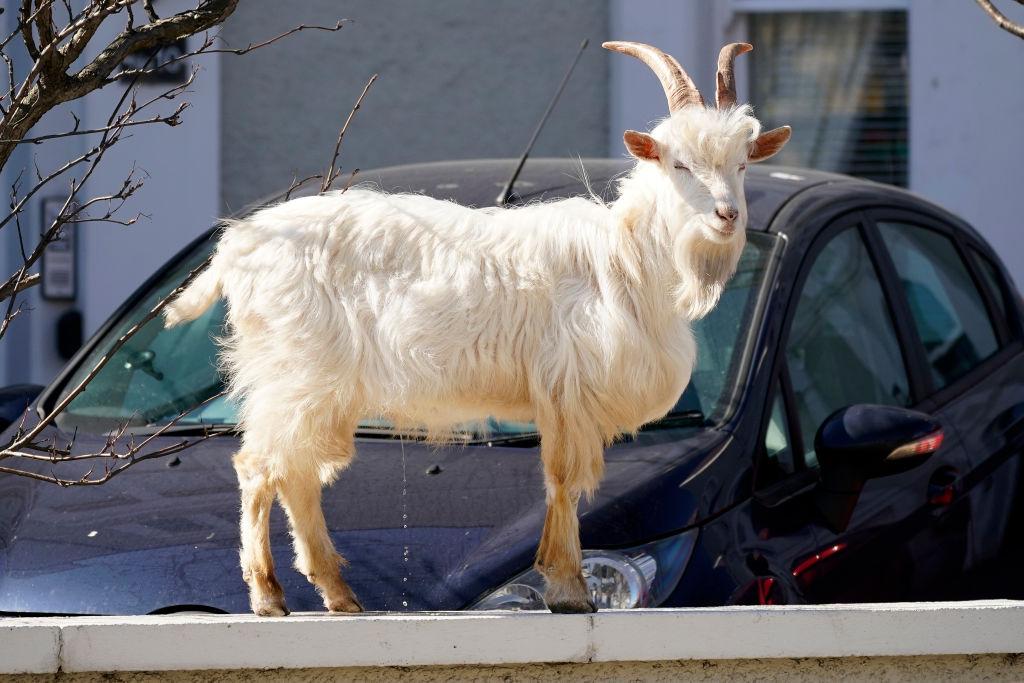 Mountain goats roam the streets of LLandudno on March 31, 2020 in Llandudno, Wales.