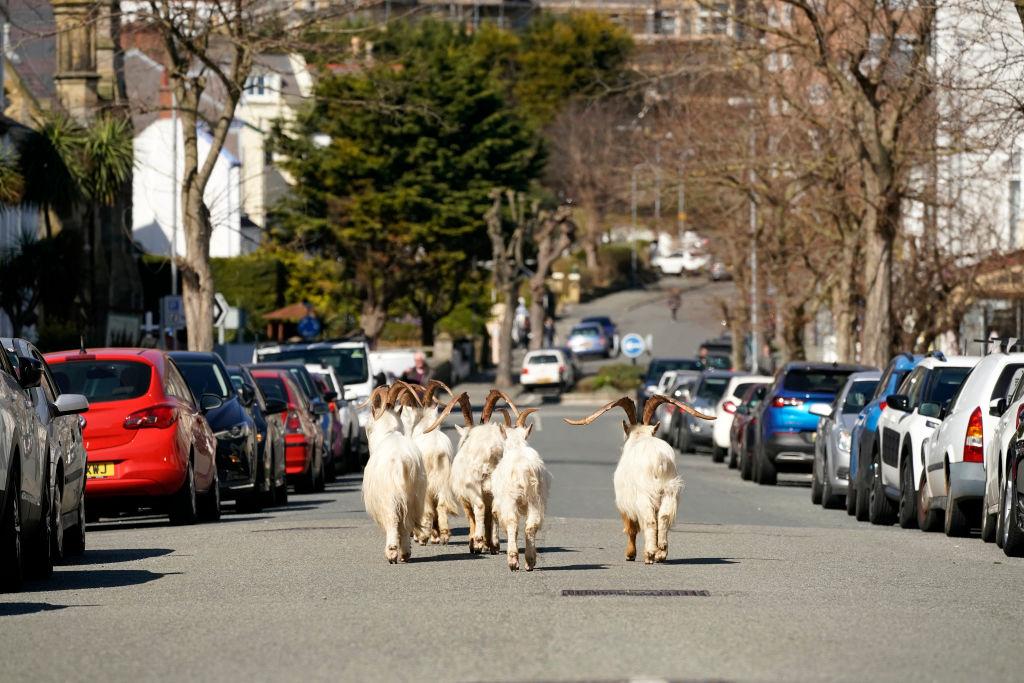 Mountain goats enjoy their adventures in LLandudno on March 31, 2020.