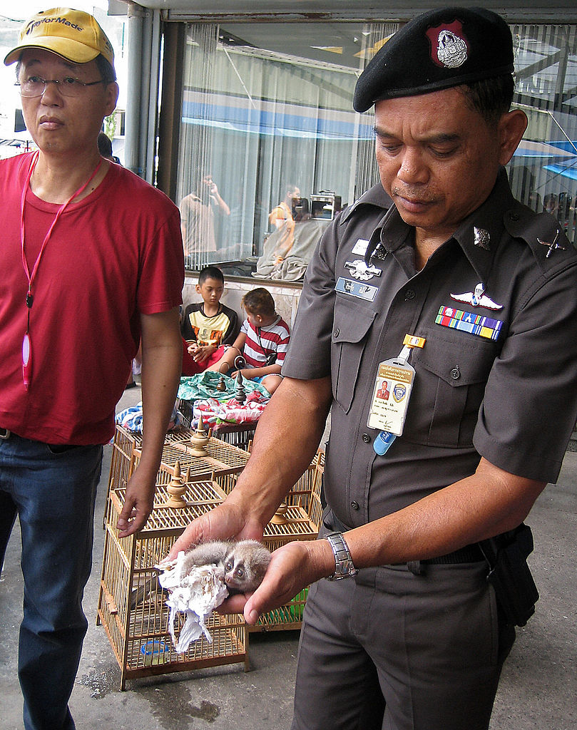 This handout photo shows a Royal Thai police officer holding a slow loris during a raid with wild life rescuer at the Chatuchak market in Bangkok on March 22, 2008.