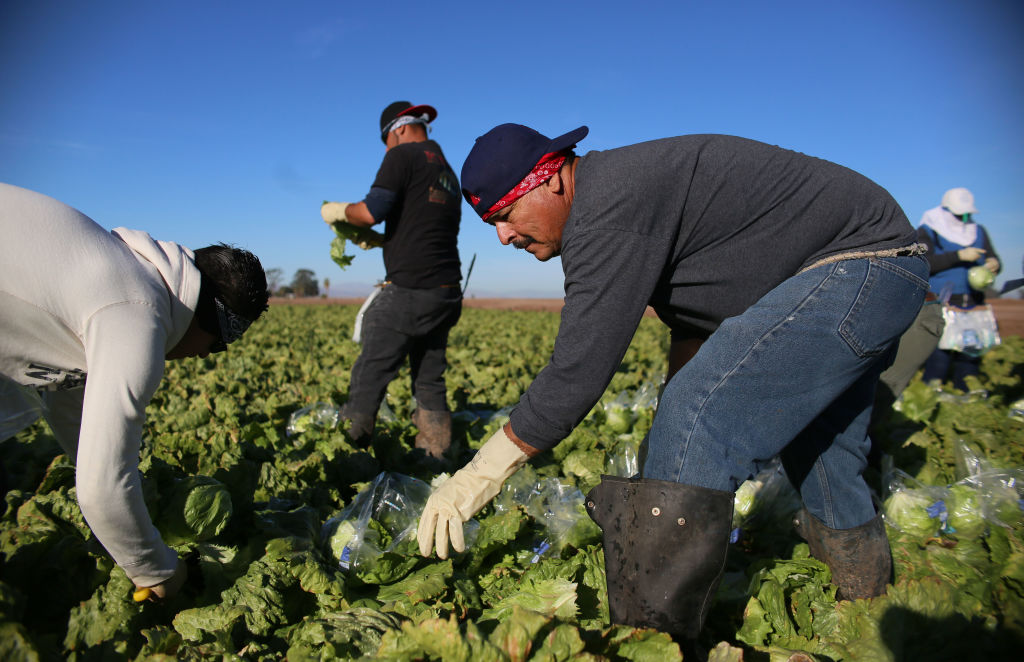 Farm workers harvest lettuce in a field outside of Brawley, California on Jan. 31, 2017.