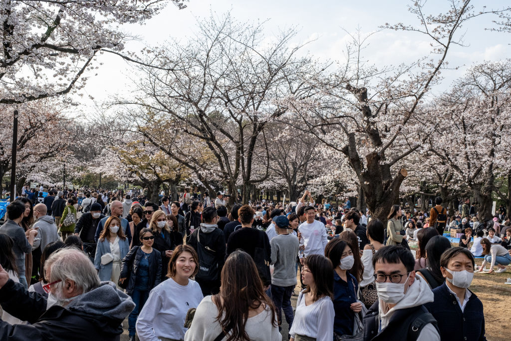 People enjoying the cherry blossom party during the coronavirus pandemic. Although the government had suggested no gatherings for cherry blossom this year due to coronavirus, people enjoyed the parties as usual, some with face masks on and some not.