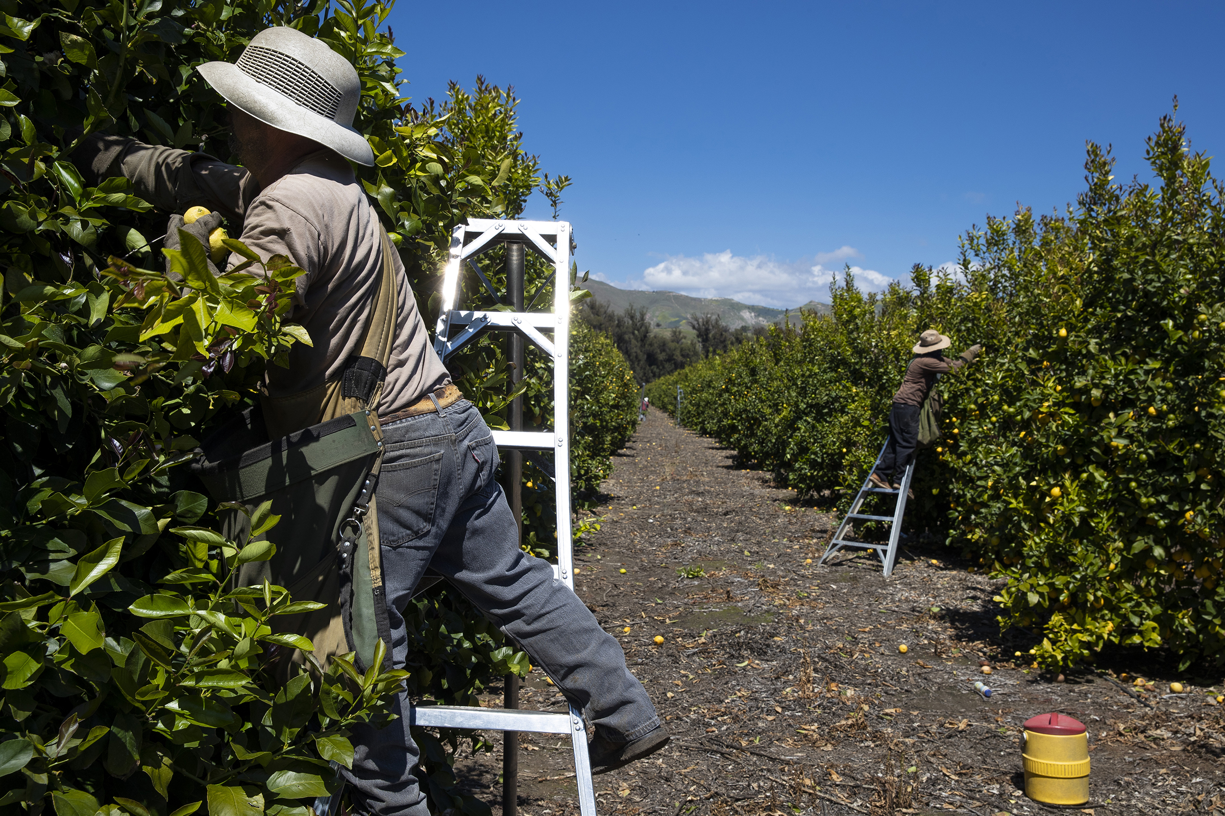 Agricultural laborers pick lemons inside the orchards of Samag Services, Inc in Mesa, California, on March 27, 2020.