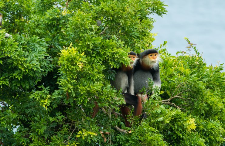 Old World monkeys at Son Tra Peninsula, Vietnam.