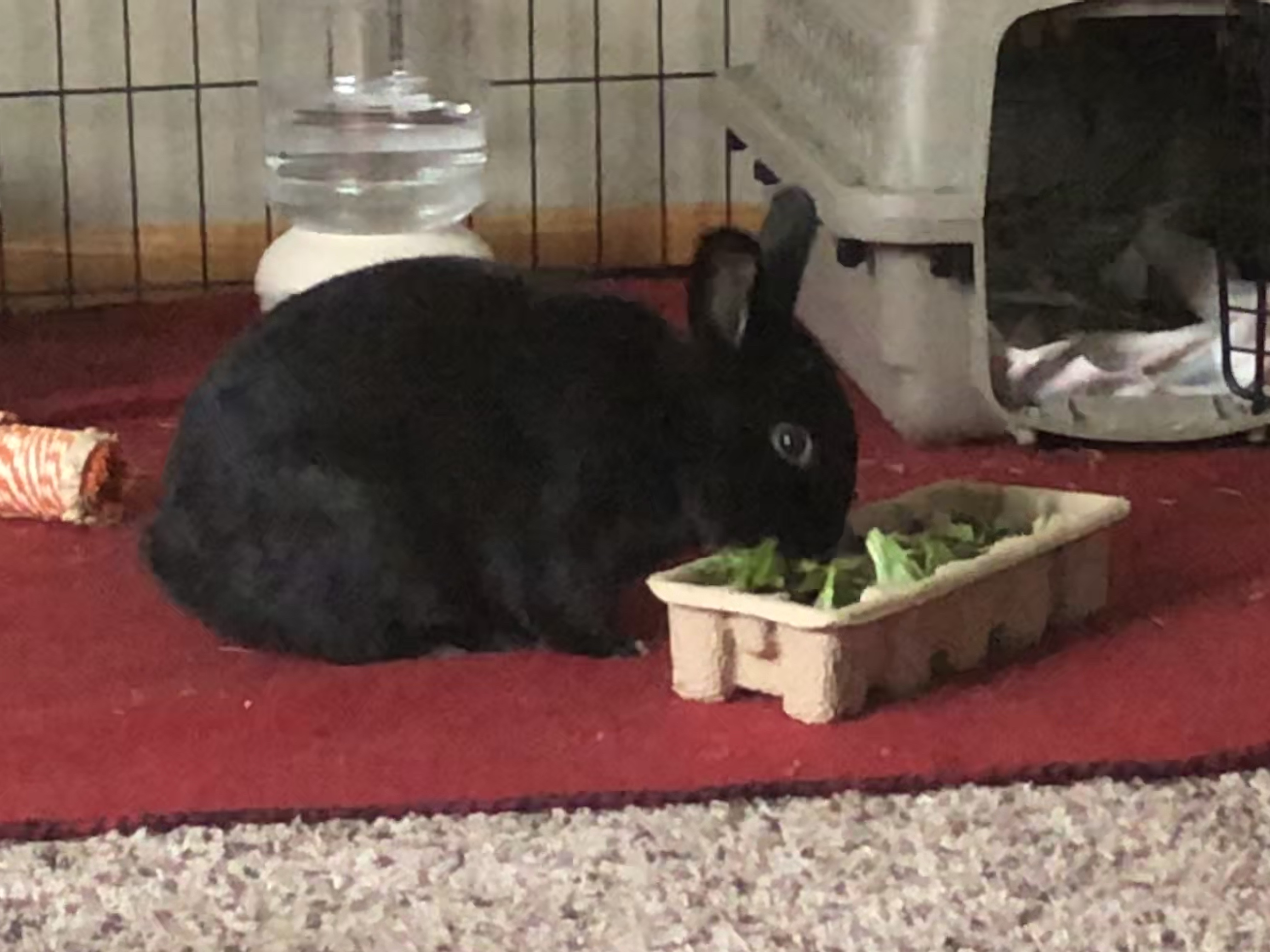 Pepper, a rabbit taken into foster care amid the COVID-19 pandemic, enjoys some greens. Courtesy of Anne Bonney
