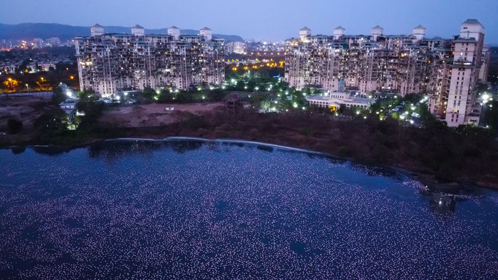 Flamingoes are seen in huge numbers behind NRI colony in Talawe wetland, Nerul, during nationwide lockdown due to Coronavirus, on April 18, 2020 in Mumbai, India.