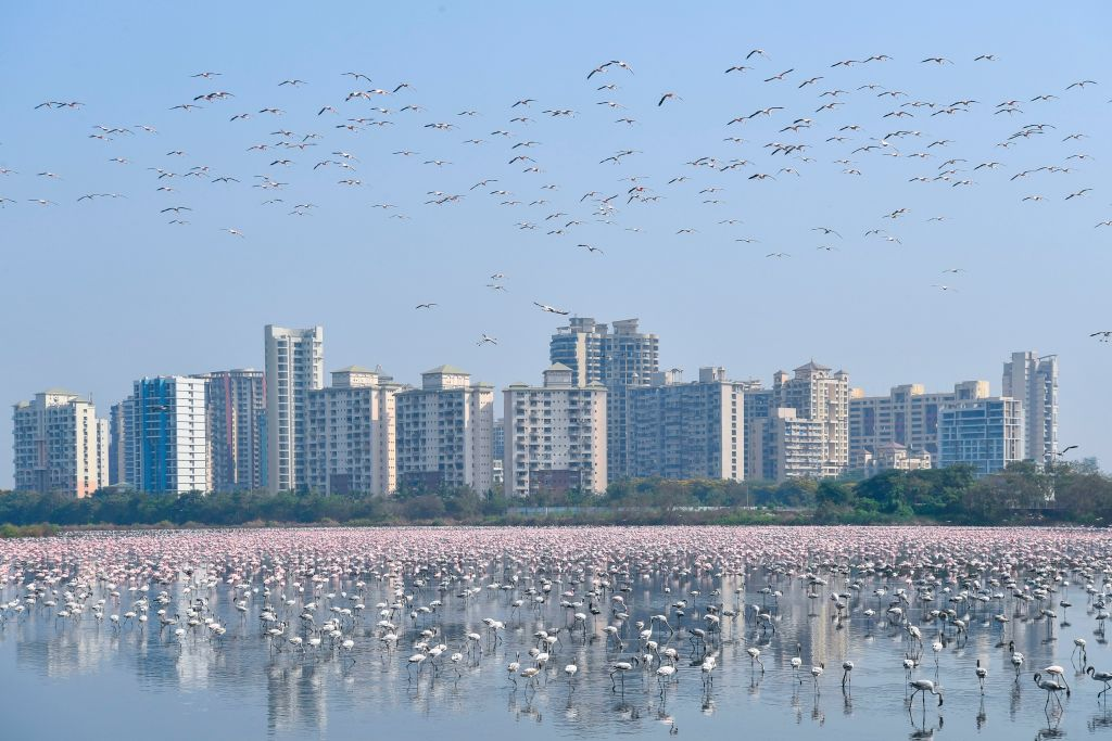 A flock of flamingos flies in a pond during a government-imposed nationwide lockdown as a preventive measure against the spread of the COVID-19 coronavirus, in Navi Mumbai on April 20, 2020.