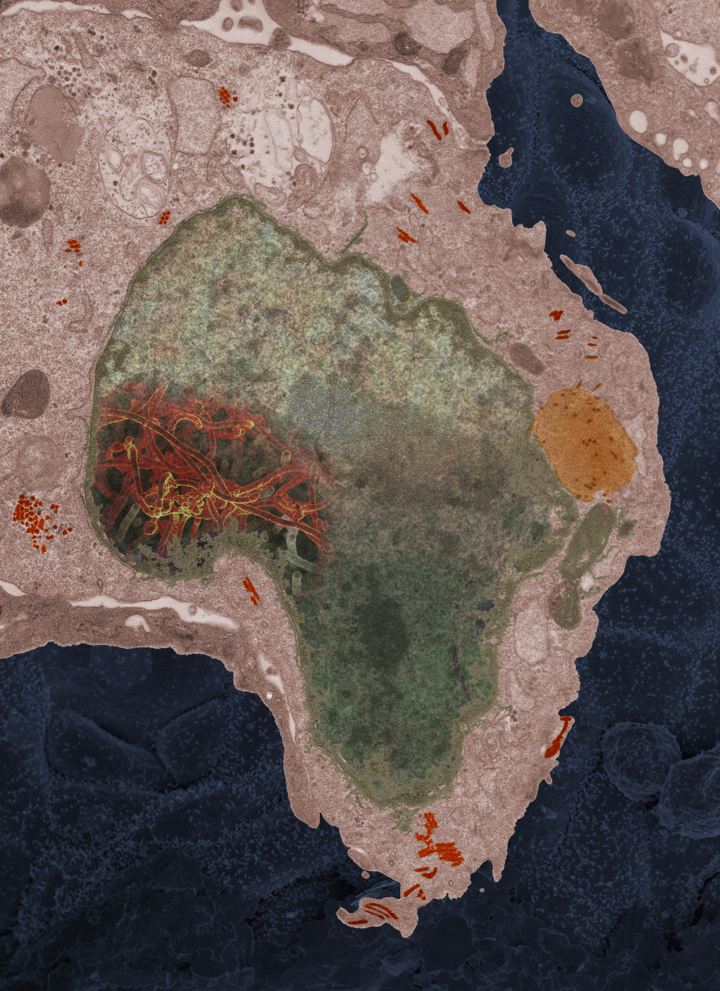 In 2014, Fischer received a sample of Ebola from a 2-year-old girl in Mali. The cell border and nucleus shape resemble the shape of Africa.