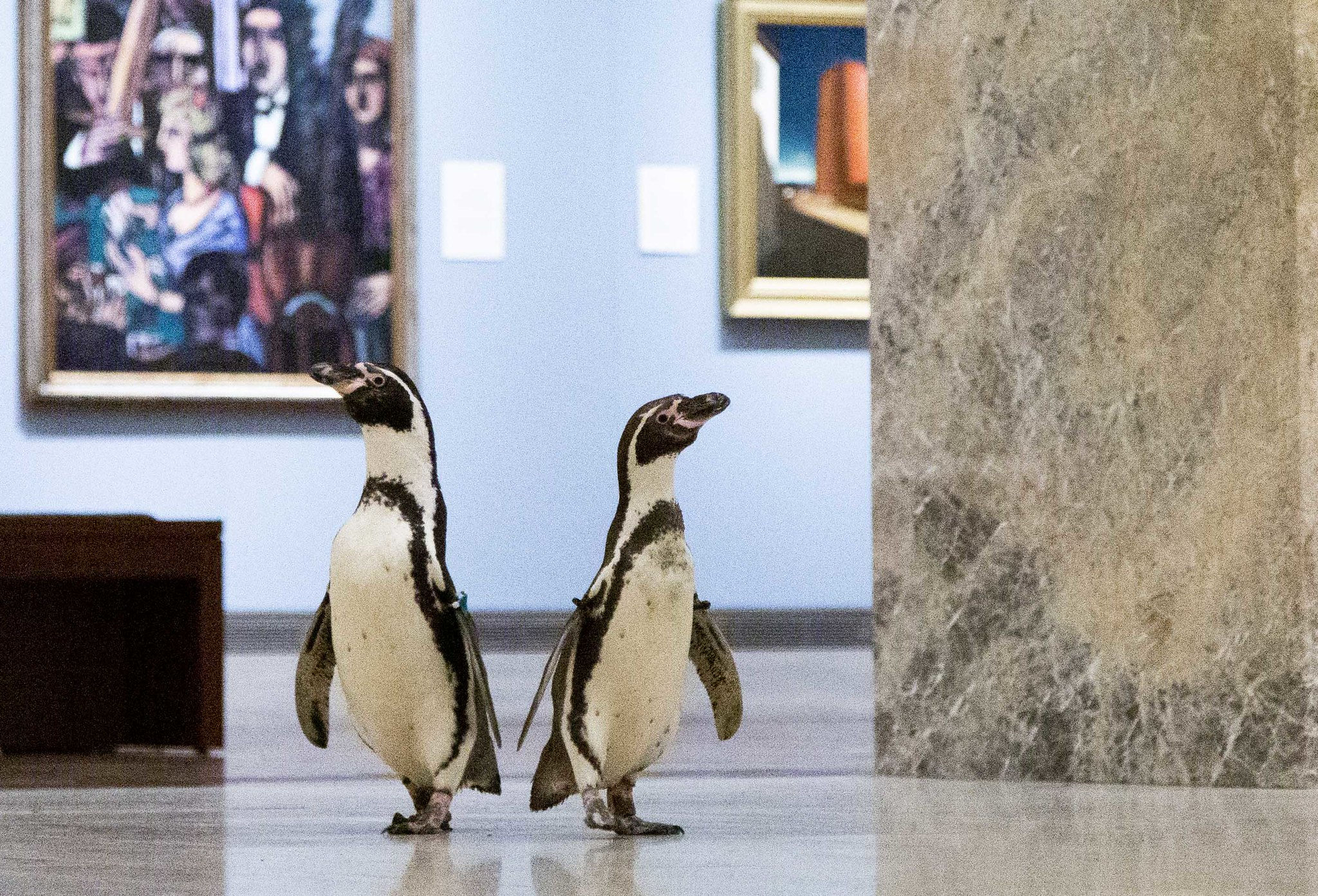 Penguins from the Kansas City Zoo explore the museum during the pandemic shutdown, May 6 at The Nelson-Atkins Museum of Art in Kansas City, MO.