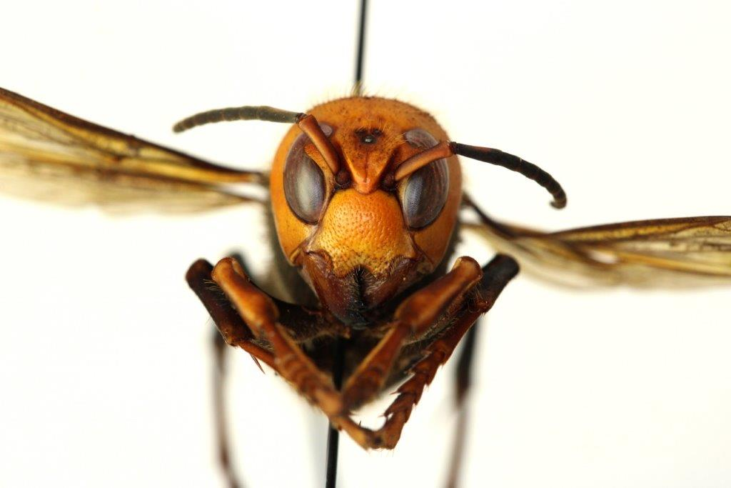 Invasive Asian giant hornets (Vespa mandarinia) have been spotted in the United States for the first time.