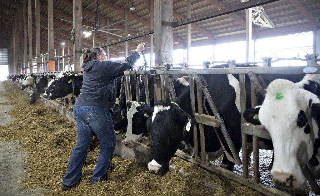 Молочные коровы отправляются на убой, так как спрос на молоко резко падает thumbnail