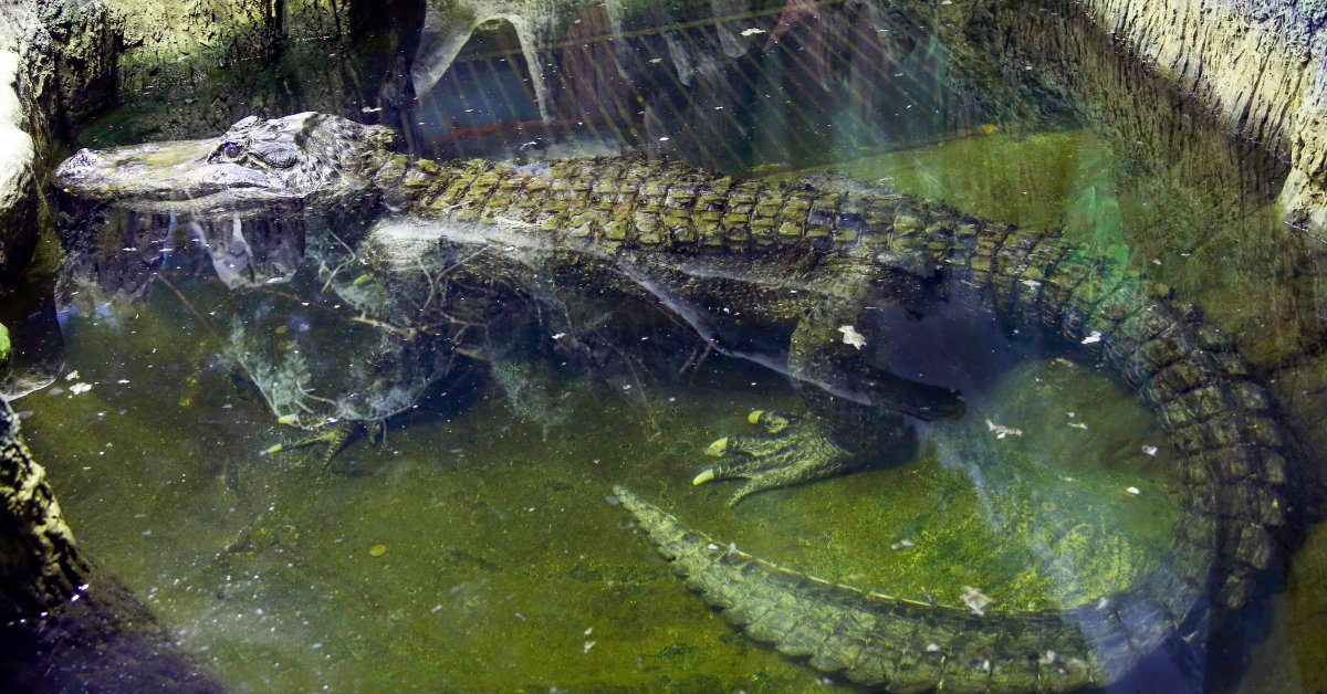 Alligator Rumored to Have Been Hitler's Pet Dies in Moscow Zoo