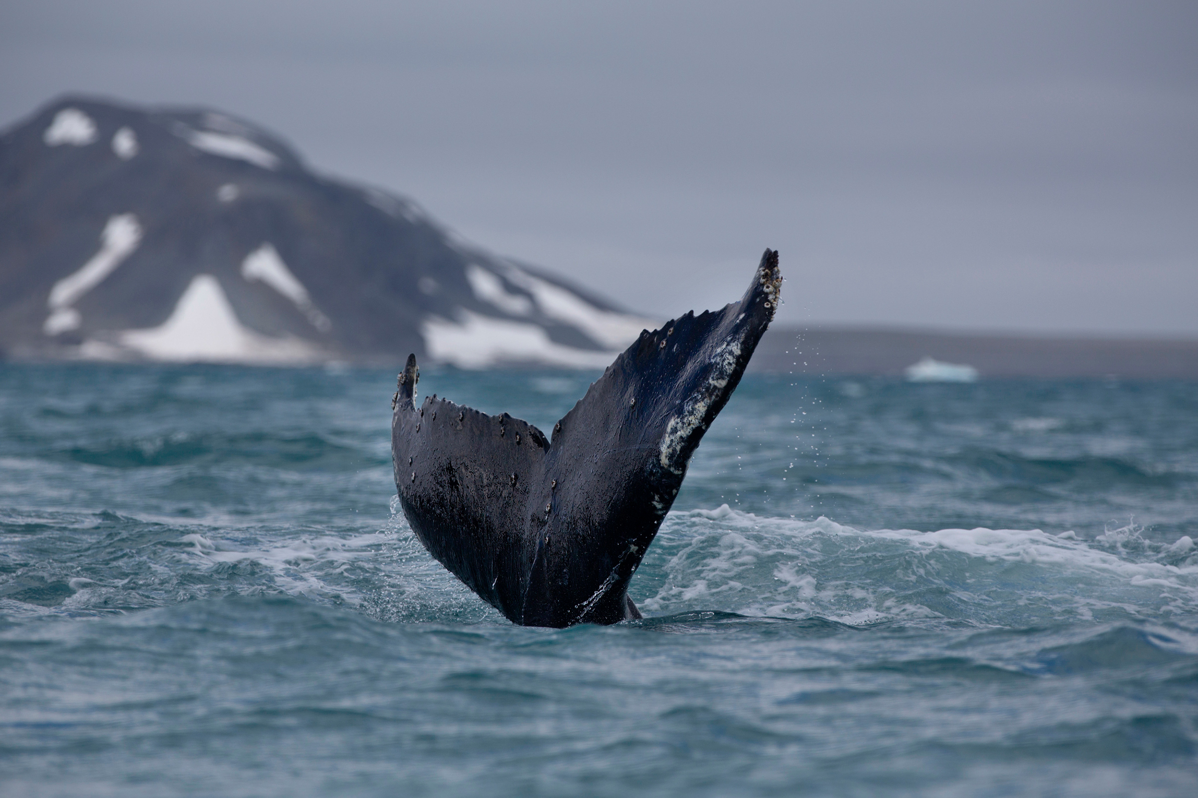 Humpback whales swim in the waters off Half Mood Island, Antarctica, Jan. 15, 2020.