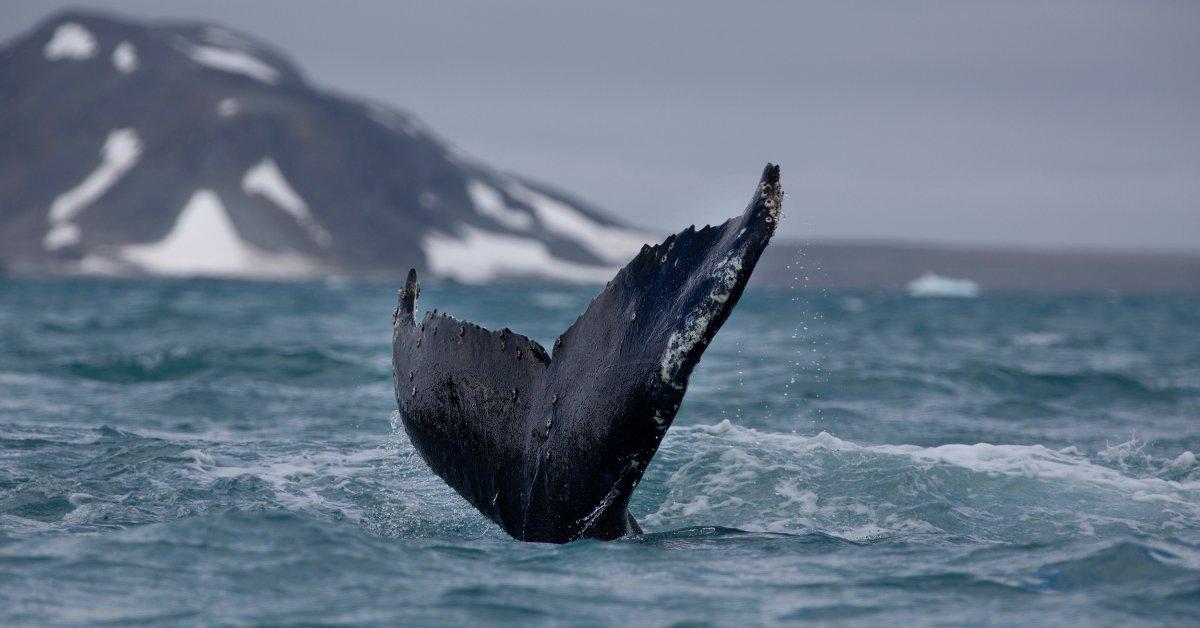 Горбатые киты добились замечательного выздоровления, дав нам надежду на планету thumbnail