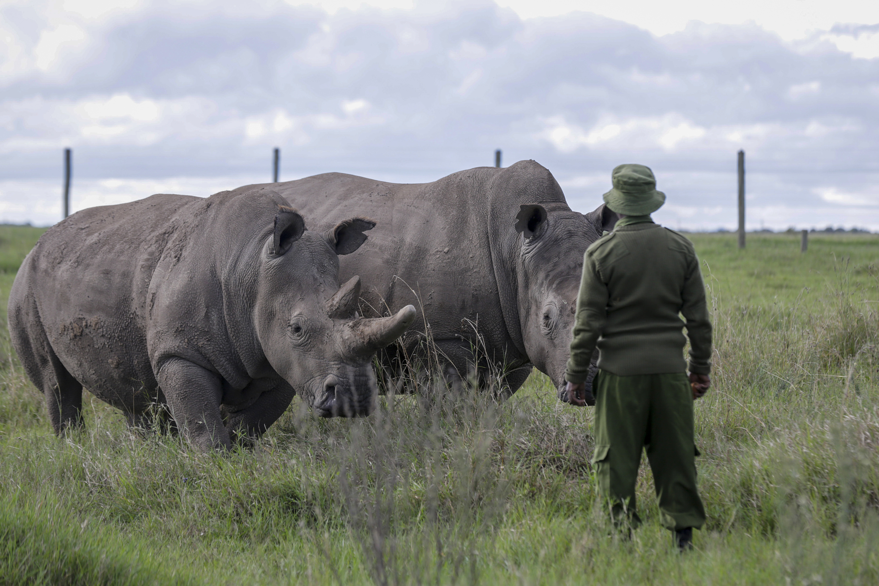 In this Friday, May 1, 2020 file photo, a ranger observes the last remaining two northern white rhinos Fatu, left, and Najin, right, at the Ol Pejeta conservancy in Kenya. Groundbreaking work to keep alive the nearly extinct northern white rhino - population, two - by in-vitro fertilization has been hampered by travel restrictions caused by the new coronavirus.
