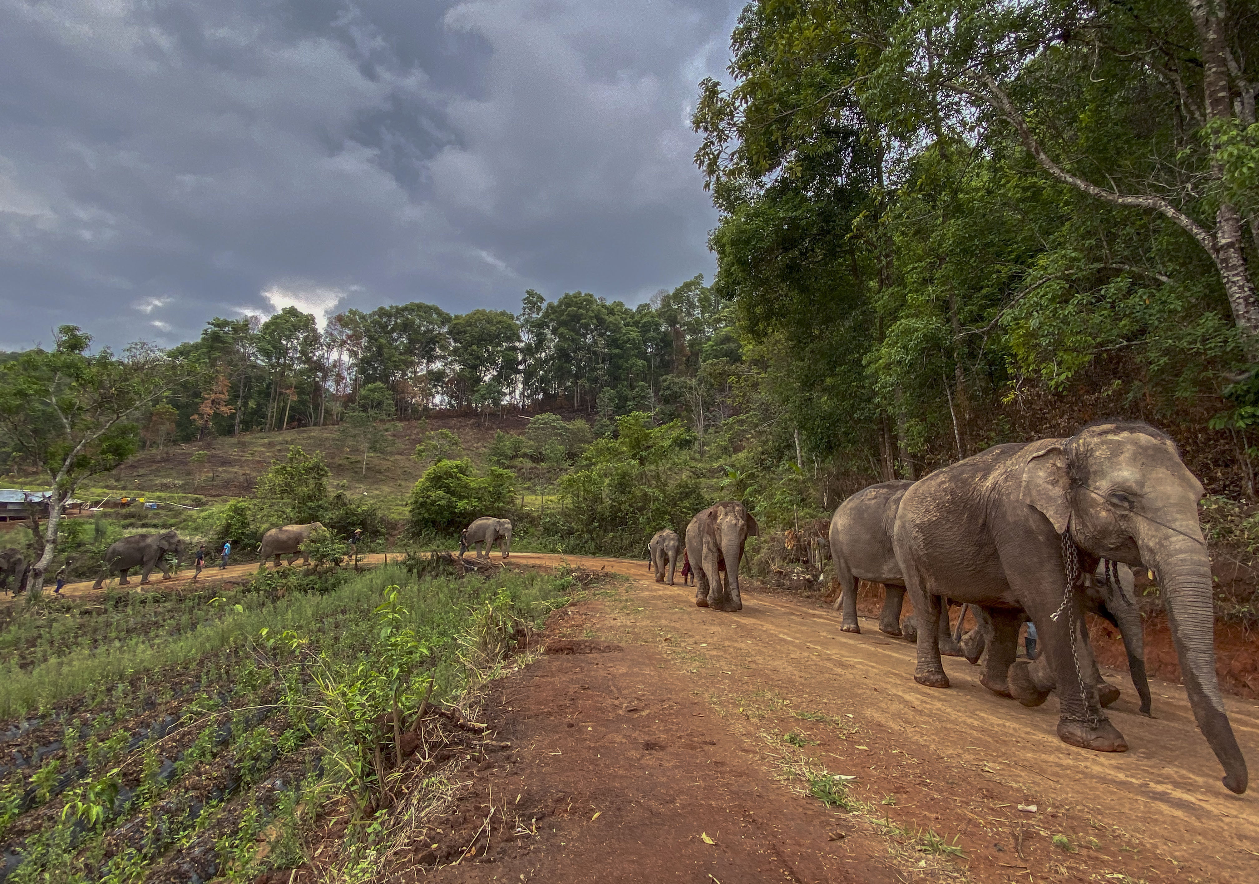 A herd of 11 elephants walk along a dirt road during a 150-kilometer (93 mile) journey from Mae Wang to Ban Huay in northern Thailand on April 30, 2020.