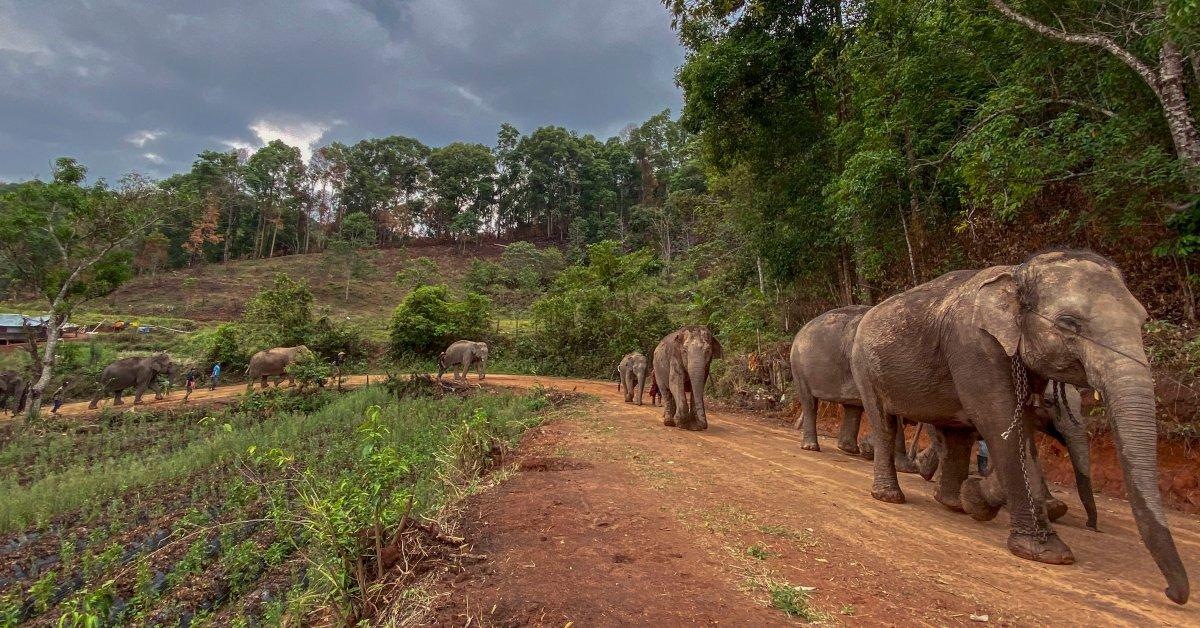 Из-за коронавируса нет работы и не хватает еды, Тайские слоны тащатся домой thumbnail