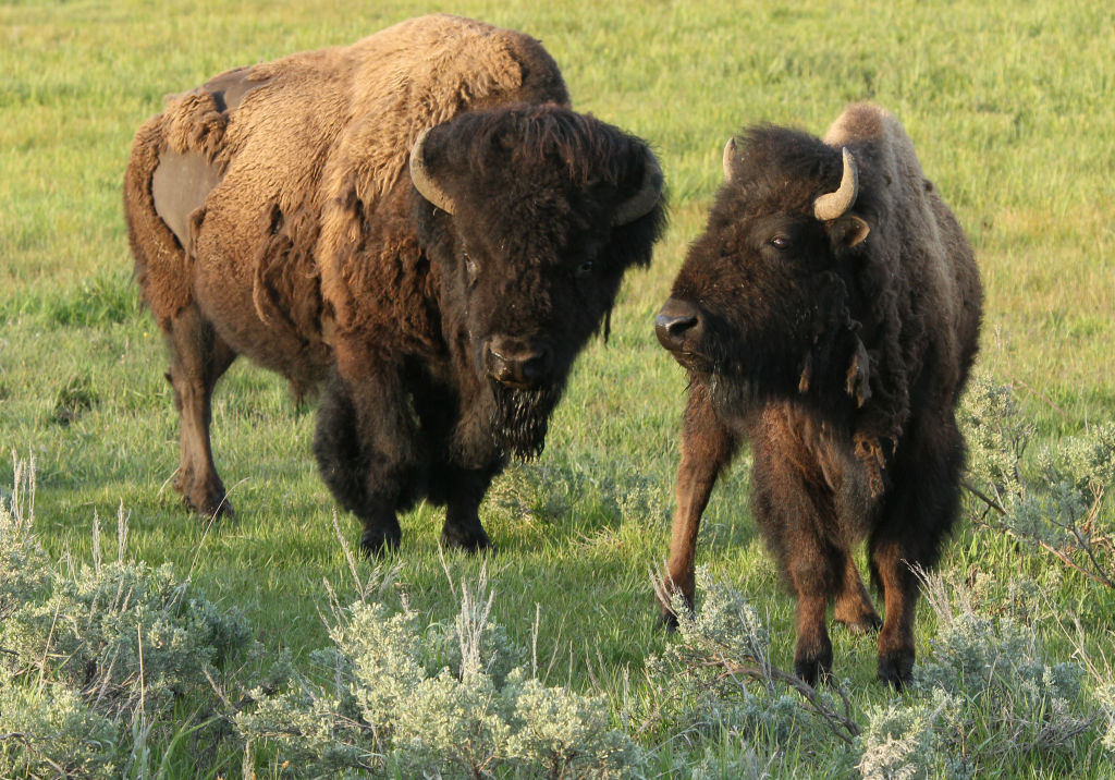 Bison graze in the meadow of Yellowstone National Park.