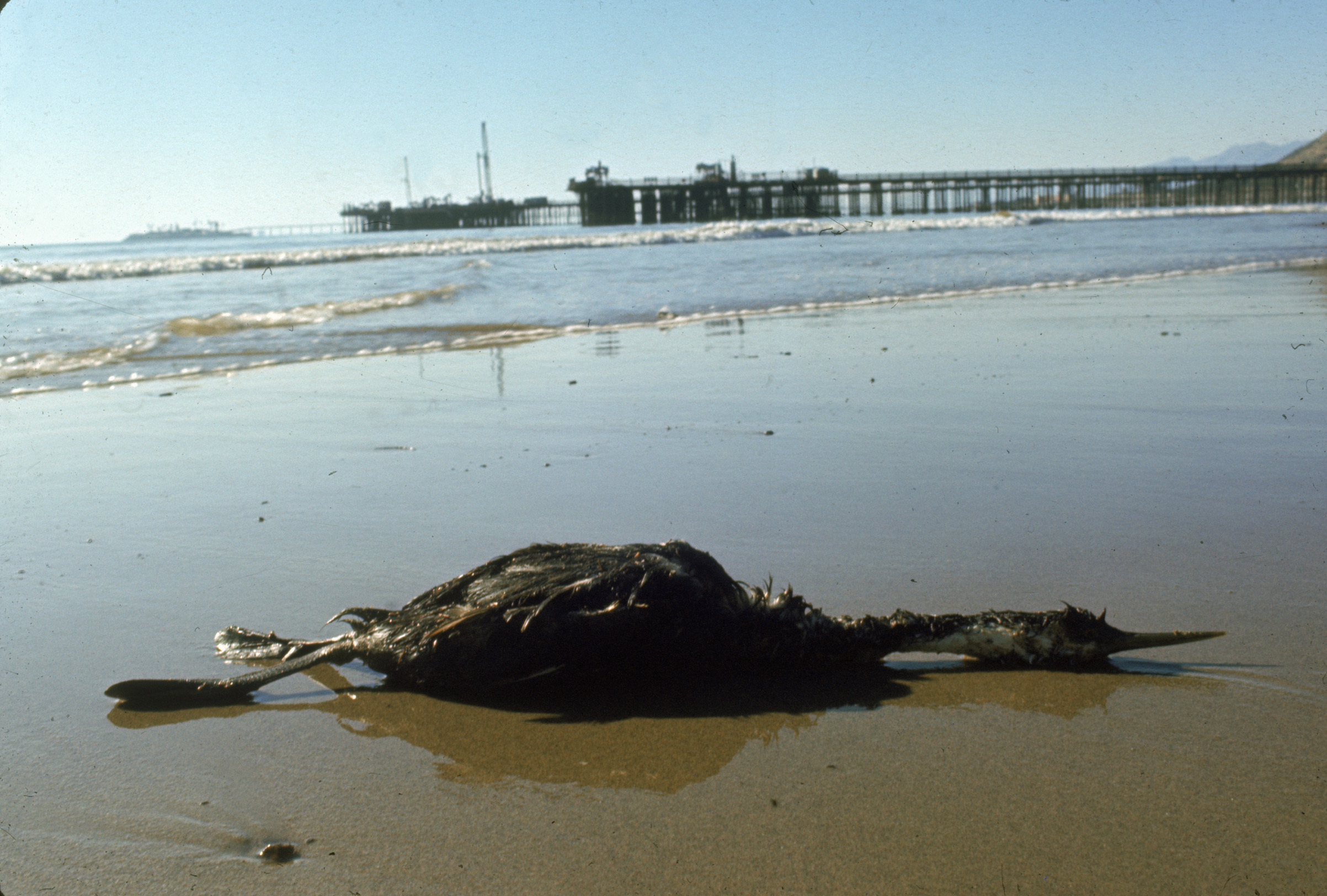 A seabird dead from oil slick, near Santa Barbara, Calif., in February 1969